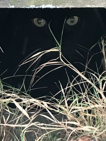 Cat's Eyes ! Hiding From The World Cats Eyes Black Cat Cat No People Outdoors Day Close-up Grass Nature