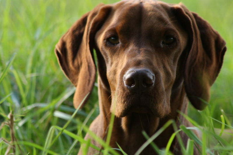 Amber... Amber Animal Head  Animal Themes Brown Close-up Dog Domestic Animals Field Focus On Foreground Grass Grassy Green Color Hungarian Vizsla Looking At Camera Mammal No People One Animal Pet Collar Pets Portrait Relaxation Selective Focus