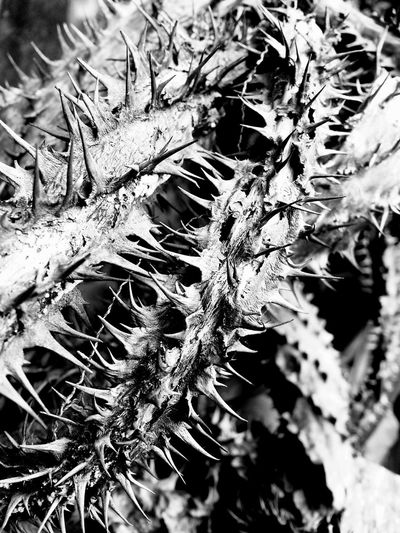 Spikes Spikey Plant Thorns Thorn Thorn Tree Thorns🌹 Thorne Thorns Trees Thorny Devil Blackandwhite Black And White Black & White Blackandwhite Photography Black And White Photography Black&white Blackandwhitephotography Black And White Collection  Black And White Portrait Blacknwhite