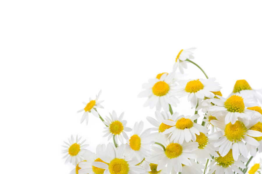 Bunch of white flowerheads of chamomile isolated on white background. Blooming Bouquet Bunch Camomile Camomiles Chamomile Chamomiles Chamomilla Flower Flower Head Flowerhead Flowerheads Flowers Matricaria Chamomilla Mayweed Nature No People Plant Weed White White Background Yellow