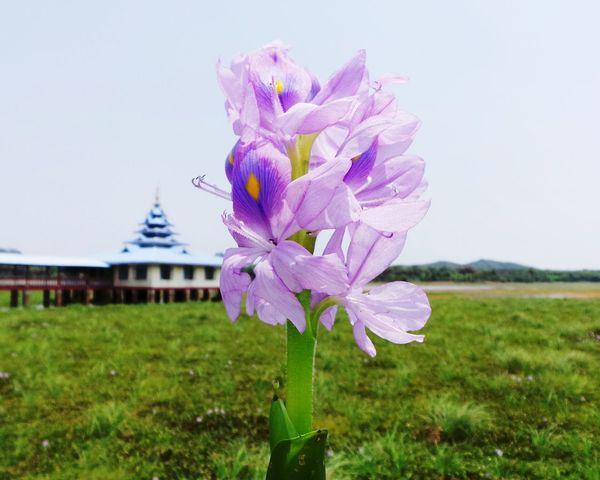 Lonely flower. Eyeemphoto Flower Monestary Nature Photography Backdrop Myanmar Exploring New Ground Purple Flower Nomansland