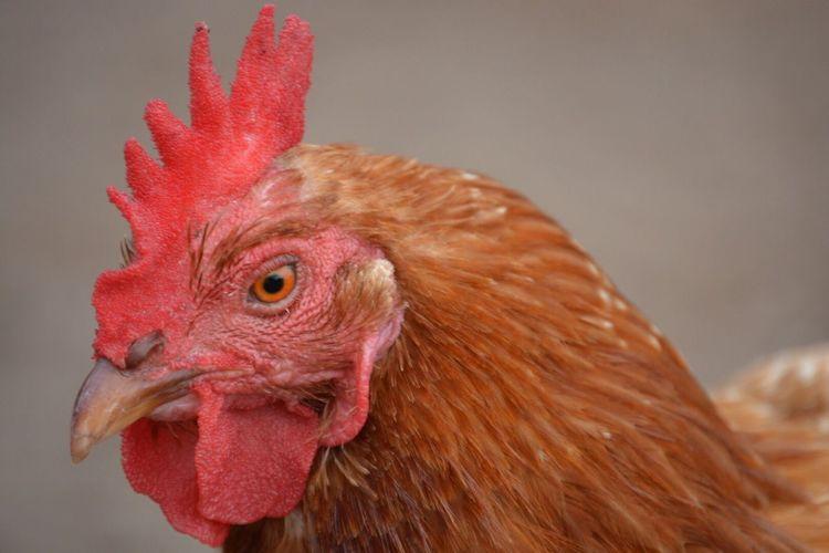 Chickens Animal