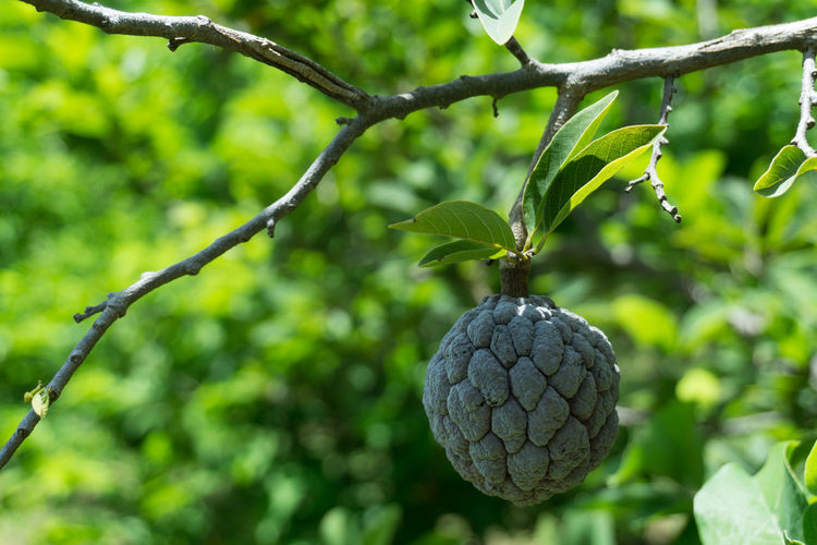 Close-Up Of Custard Apple Growing On Tree