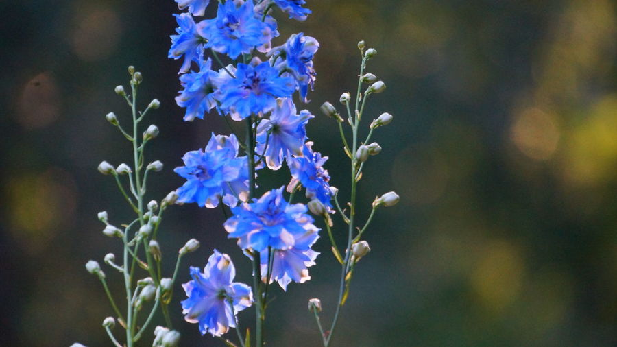 Delphinium Copy Space Flower Flowering Plant Plant Fragility Vulnerability  Beauty In Nature Freshness Growth Close-up Petal Focus On Foreground Nature Flower Head Inflorescence No People Day Selective Focus Purple Blue Outdoors Delphinium Bokeh Bokeh Photography