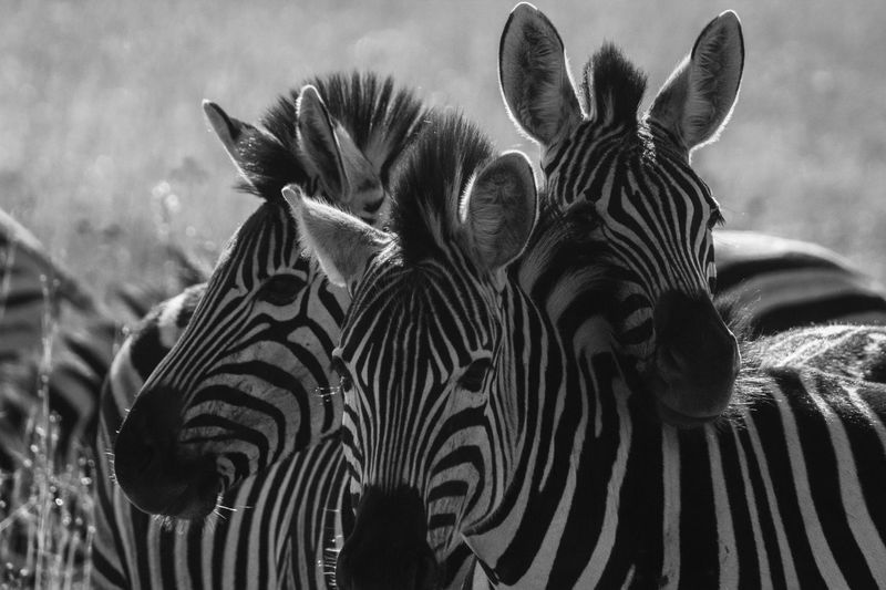 Girls in selfie be like 😅 Black And White Photography Wildlifephotography Wildlife & Nature Animal Selfie Zebra Stripes Zebra No People Pattern Striped Zebra Close-up Animal Nature Animal Wildlife Natural Pattern Beauty In Nature Outdoors Mammal Animal Themes