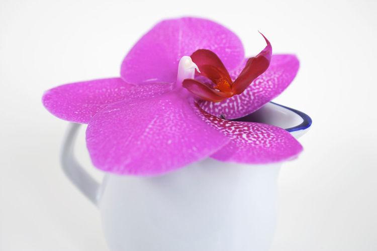 Orchid Milk Jug Pink Can Flower Petal Blossom Bloom Phalaenopsis Blooming Orchids Petals Flowers Vase Porcelain  Nobody Still Life