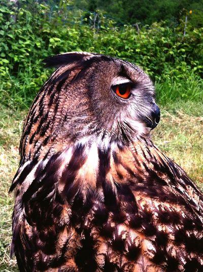 Animal Themes One Animal Animals In The Wild Bird Nature Animal Wildlife Outdoors Owl Eyes Owl