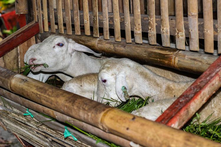 Ovis aries Sheep Sheep Farm Sheep Wool Sheep Ranch Sheep🐑 Bird Seafood Fish Market High Angle View Close-up Food And Drink Animal Pen Livestock Tag Stable Flock Of Sheep Livestock Animals In Captivity Stall Cage Lamb Bridle