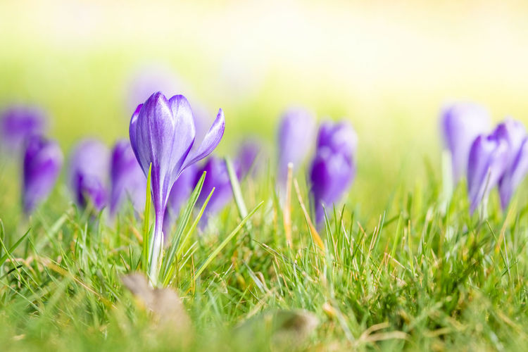 Plant Flower Flowering Plant Freshness Grass Selective Focus Beauty In Nature Nature Springtime Close-up Field Purple Growth Meadow Green Color Land No People Plain Fragility Outdoors Crocus Iris Flowerbed Blade Of Grass