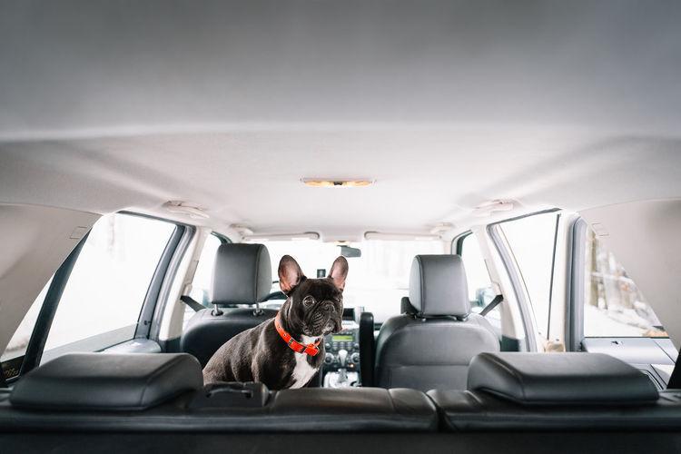 French bulldog dog sitting  in car
