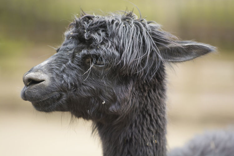 A side portrait of a suri alpaca with crinkled coat hair. copy space