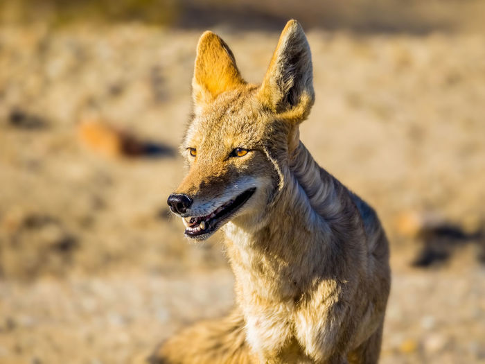Close-up of coyote looking away at death valley national park
