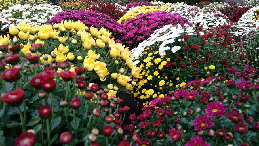 Flower Flower Head Multi Colored Flowerbed Yellow Close-up Plant Botanical Garden Petal Plant Life