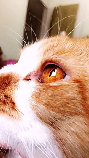 Domestic Cat Domestic Animals Pets Cat Animal Head  Animal Eye