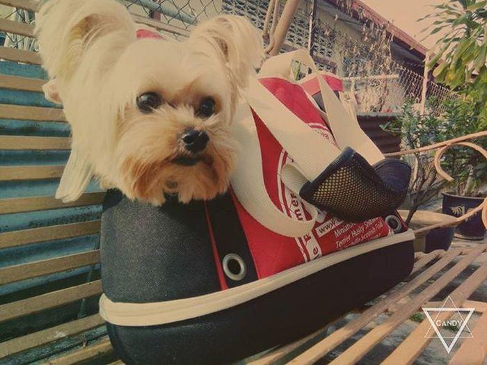 臭小子,你最幸福了💕爱你 小霸王 Ocha Adorable Dog Dogsofinstagram Doggy 귀여운개 행복해 사람처럼