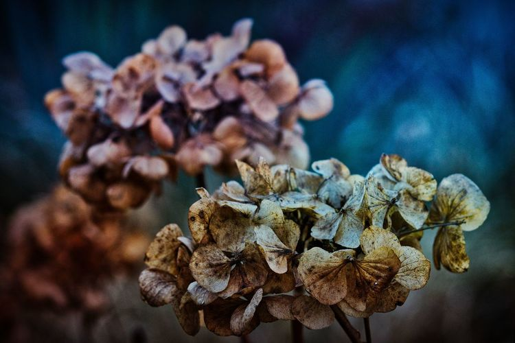 Flower Close-up Flowering Plant Vulnerability  Plant Fragility Focus On Foreground Beauty In Nature Dry Growth Freshness Nature Wilted Plant Petal No People Flower Head Inflorescence Day Dried Plant Selective Focus Dead Plant Dried Hortensia Nature_collection Nature Photography