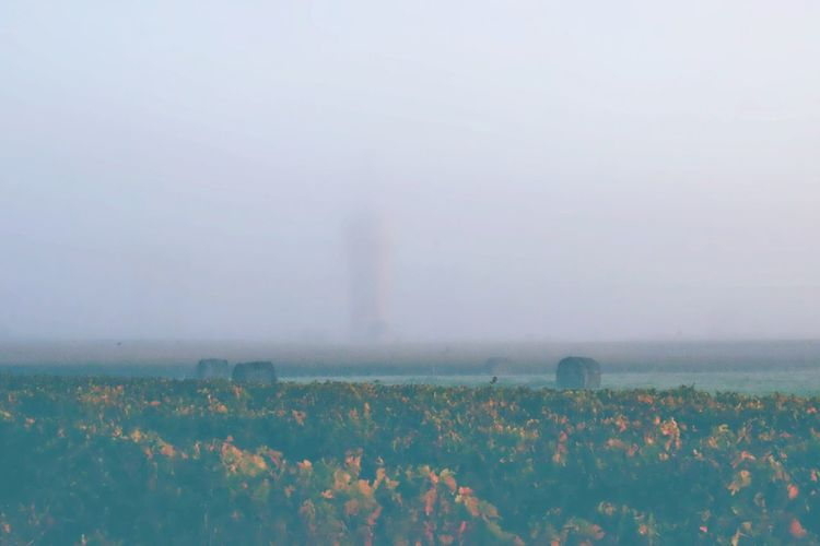 Hazy vineyard Tranquility Field Nature Beauty In Nature Growth Tranquil Scene Agriculture Scenics Flower Rural Scene Haze Foggy Foggy Day Foggy Morning EyeEm Nature Lover Autumn Colors EyeEm Best Shots Sunrise FogSmoke] fogOutdoorssLandscapeeSkyyDayyCotton Plantt