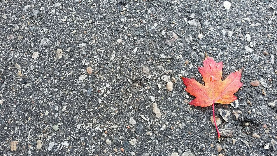 Fall Leaves Fall Leaf Canada Trees Autumn Colors Autumn Autumn Leaves Autumn Leaf Nature Outdoors Canadian 캐나다 단풍 가을 정서 가을 Red