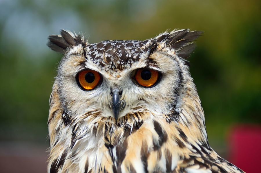 Animal Themes Beauty In Nature Check This Out Close-up Day Eagle Owl  European Eagle Owl Eye4photography  EyeEm Best Shots EyeEm Gallery EyeEm Nature Lover Eyes Focus On Foreground Nature Nature Photography Nature_collection Naturelovers No People One Animal Outdoors Owl Owl Eyes Portrait Selective Focus Taking Photos