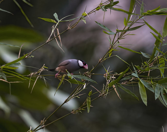 Java sparrow Plant One Animal Animal Wildlife Animal Themes Animals In The Wild Animal Growth No People Nature Bird Focus On Foreground Vertebrate Tree Food Day Close-up Selective Focus Branch Food And Drink Green Color