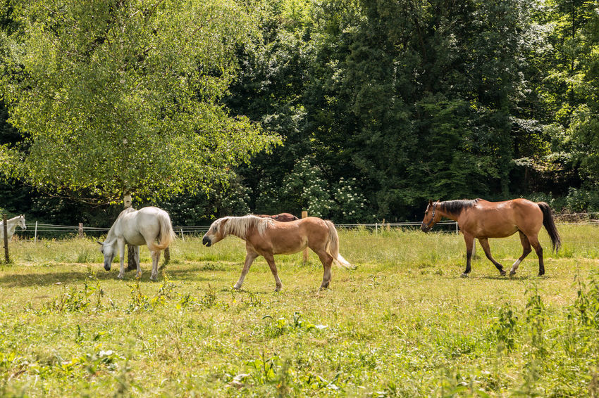 Horses on the green meadow Agriculture Animal Animal Family Animal Themes Animal Wildlife Domestic Domestic Animals Field Grass Grazing Group Of Animals Herbivorous Horse Land Livestock Mammal Nature No People Outdoors Pets Plant Tree Vertebrate