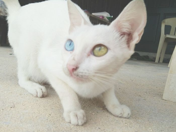 Amazed. Cat Cebu Heterochromia Lovely