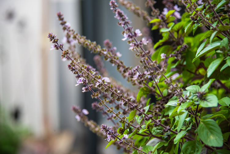 Plant Growth Flowering Plant Flower Vulnerability  Fragility Beauty In Nature Freshness Nature Selective Focus Close-up No People Day Focus On Foreground Outdoors Tree Botany Branch Blossom Springtime Purple Flower Head Basil Basilicum Herbs Ingredient Tasty Bee Bees And Flowers