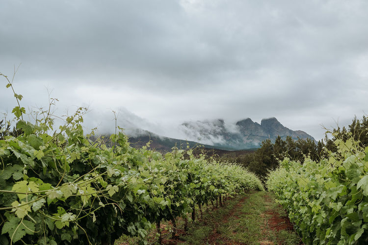 Vineyard near Cape Town Cape Town Cape Town, South Africa Cloud Green Color South Africa Travel Agriculture Beauty In Nature Cloud - Sky Day Growth Landscape Mountain Nature No People Outdoors Overcast Plant Scenics Sky Tranquility Travel Destinations Tree Vineyard Wine