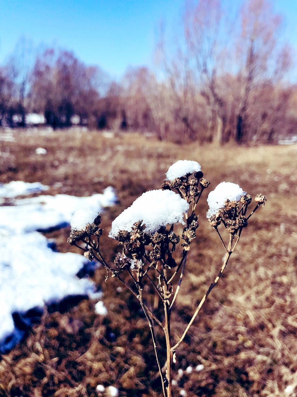 winter, cold temperature, snow, plant, focus on foreground, no people, nature, day, beauty in nature, frozen, field, close-up, land, white color, tranquility, growth, tree, outdoors, covering, cotton plant, dead plant