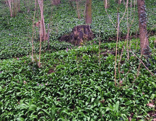 Bärlauch  Flooring Flowerfloor Plantstoeat Spring Spring Flowers Wild Garlic Wood Woodgarlic