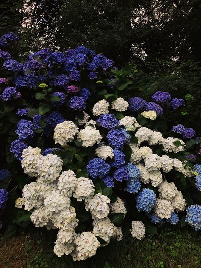 White and blue Hydrangeas White Flower Hydrangea Flower Purple No People Day Outdoors Nature Multi Colored Beauty In Nature