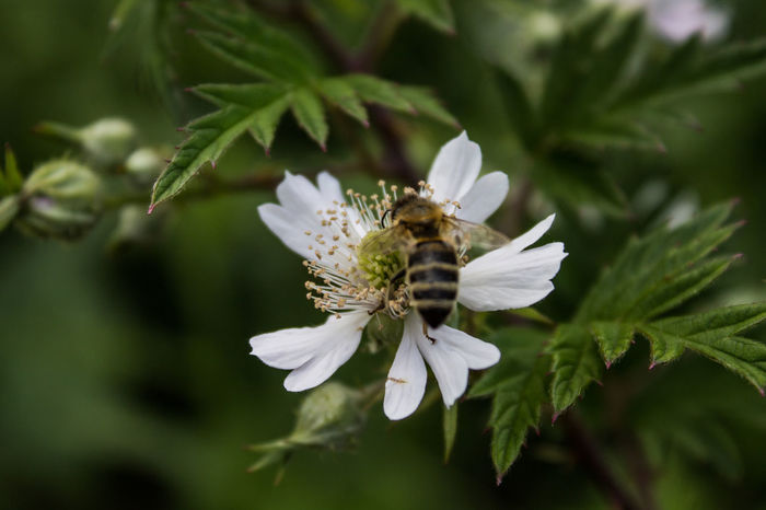 Plant Rubus Beauty In Nature Bee Blackberry Close-up Evergreen Flower Flower Head Growth Insect Nature Petal Plant Pollination