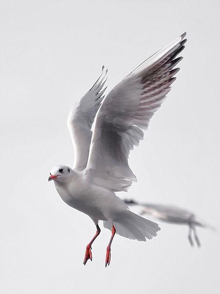 the gull Birds Bird Bird Photography Birds_collection Gull Gulls In Flight Flight Bird Animal Wing Flying Spread Wings Animal Wildlife Winter Outdoors No People Nature Sky Day Animal Themes