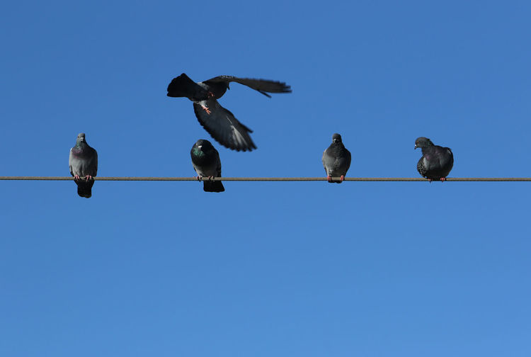 Low angle view of birds perching on cable. pigeons perch on a cable wire in estoril, portugal