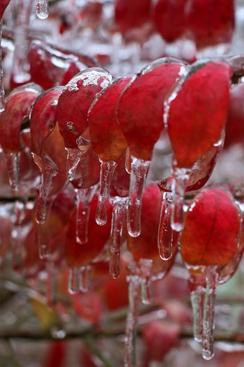 Icicles Icicles Up Close Ice Storm Nature Winter Cold Temperature Plants No People Close-up Red Ice Focus On Foreground Frozen Day Icicle Leaves Leaf