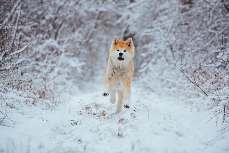 Akita One Animal Animal Themes Snow Animal Mammal Cold Temperature Winter Pets Canine Dog No People