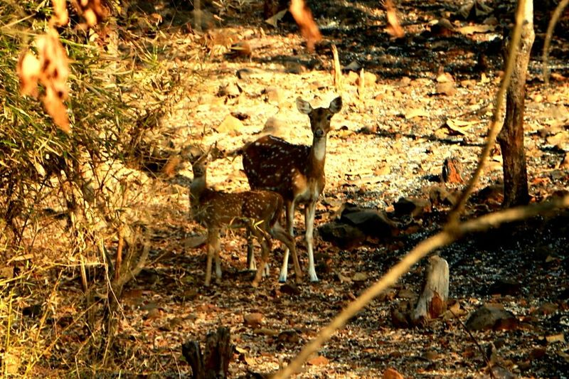 Nature Lover Kanheri Caves Wild Life Deer Moments Jungle Shoot EyeEm Best EditsEyeEm Best Edits Eyeem Animal Lovers EyeEM Animal Love EyeEm Best Shots - Nature Eyeem Animal EyeEm Best Shots Eye4photography  Mumbailife EyeEm Animal Lover Animal Lover Animal Love Meet The Culture Vultures! Www.culturexvulture.com Vultures In A Tree Animal Portrait Animal Photography Animals Jungle Life EyeEm Gallery Deer ♥♥