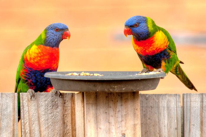Animal Themes Animal Wildlife Animals In The Wild Backyard Beauty In Nature Bird Bird Photography Birds Brisbane Lorikeets Multi Colored Nature Perching Queensland Australia Rainbow Rainbow Lorikeet Rainbow Lorikeets