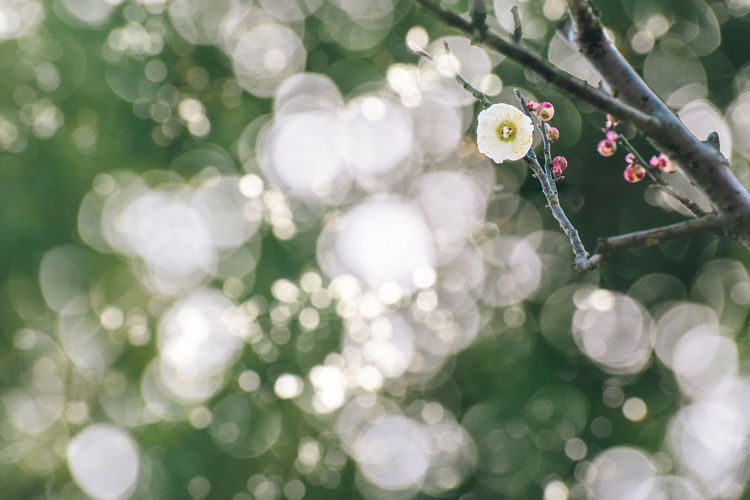 Plum Blossoms Plant Beauty In Nature Freshness Nature Flowering Plant Tree Selective Focus Sunlight Purity Plum Blossom Spring Bokeh Bloom
