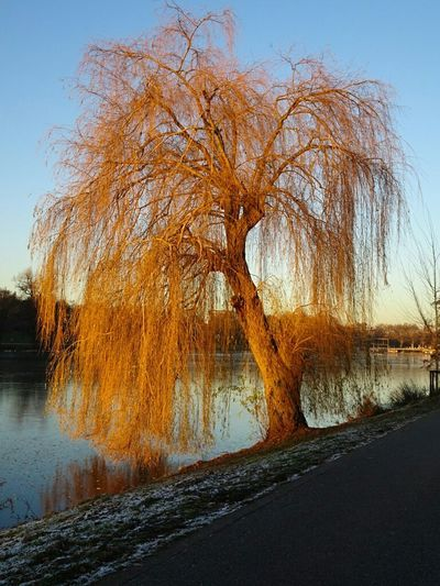 Tree Nature Outdoors Bare Tree Beauty In Nature Day Scenics No People Sky Water Tranquility Landscape Willow Tree