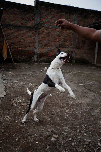 View of a dog jumping towards hand