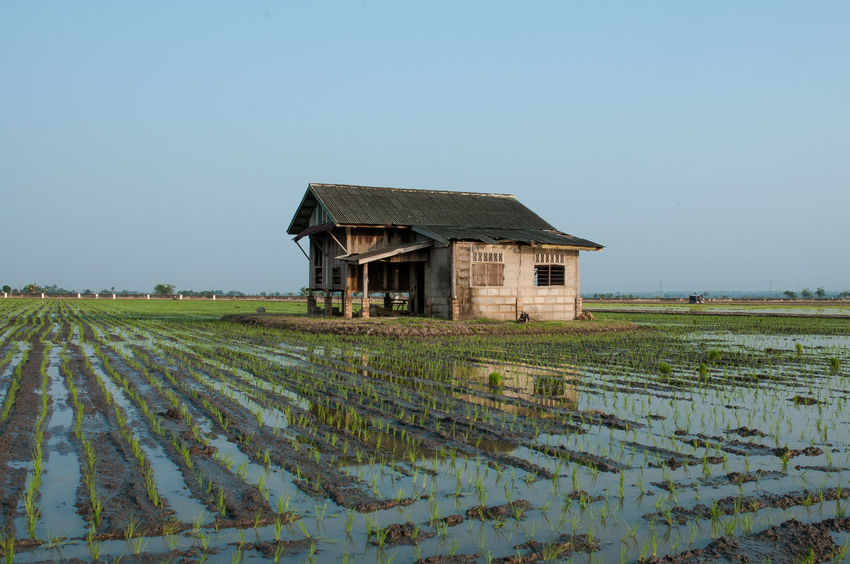 old house in paddy fields Junitagallery Paddy Field Paddy Fields Paddy Background Sawah Padi Sawah Bendang Rumah Lama Old House Rustic Kuala Selangor Sekinchan Tanjung Karang Selangor Selangor Paddy Fields Plants Travel Built Structure Architecture Day Rural Scene Outdoors