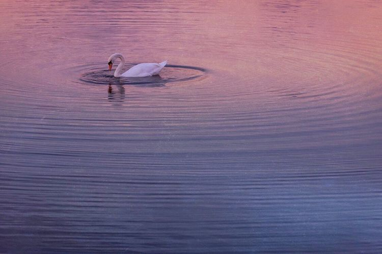Swan Ripples Water Waterfront One Animal Animal Themes Nature Bird Animals In The Wild Sea Day Swimming No People Beauty In Nature Outdoors Swan Mammal Rushden Northamptonshire Sunset Lake View Lake Sunset One Swan