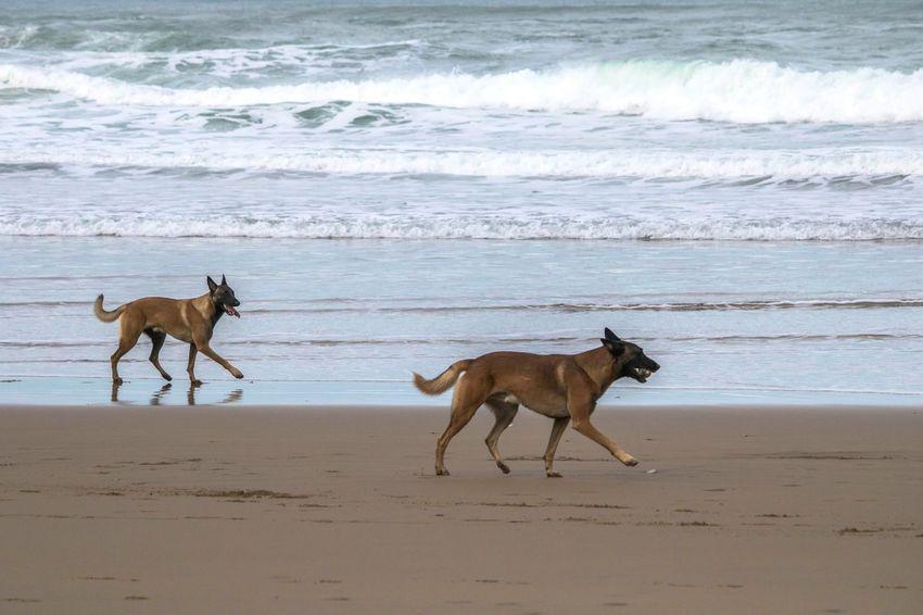 Belgian Shepherd Belgian Shepherds Beach Dog Sea Pets Animal Sand Wave