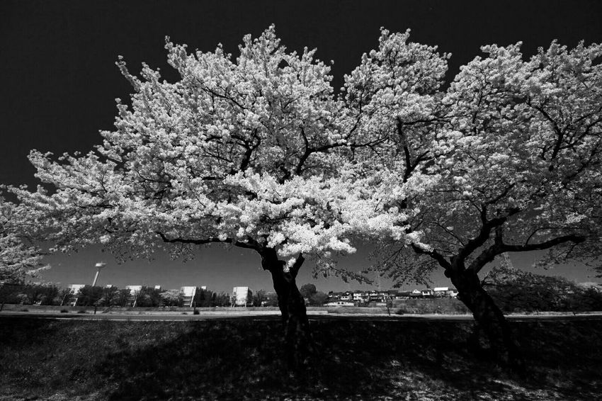 Sakura2014 TreePorn Cherry Blossoms Roadside Tree EyeEm Nature Lover Eyeem Monochrome Black And White From My Point Of View