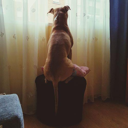 Mi Mascota Hello World Pit Bull Terrier One Animal Dog Mi Amor❤ Family❤ Família Pensando En Ti Love
