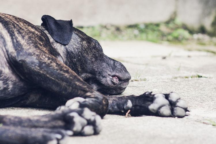 Cane corso resting on walkway