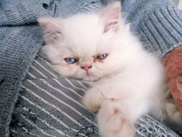 Kitten Animal Baby Blue Eyes Cat Cats Of EyeEm Cute Cute Pets Himalayan Cat Kitten Kitten 🐱 Kittens Kitty Persa Persian Pet White White Cat