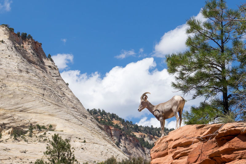 A banana head ram (Big Horn Sheep) in Zion National Park, Utah Big Horn Sheep RAM Zion National Park Animal Themes Banana Head Beauty In Nature Climbing Day Low Angle View Mammal Mountain Nature No People One Animal Outdoors Rock - Object Scenics Sky Sunlight Tranquil Scene Tree