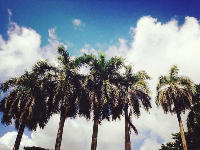 Palm Tree Guam